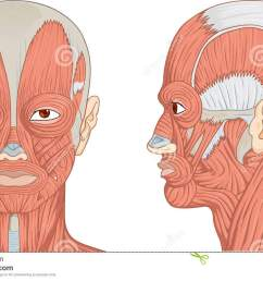 vector illustration diagram of human head with neck and face muscles  [ 1300 x 865 Pixel ]