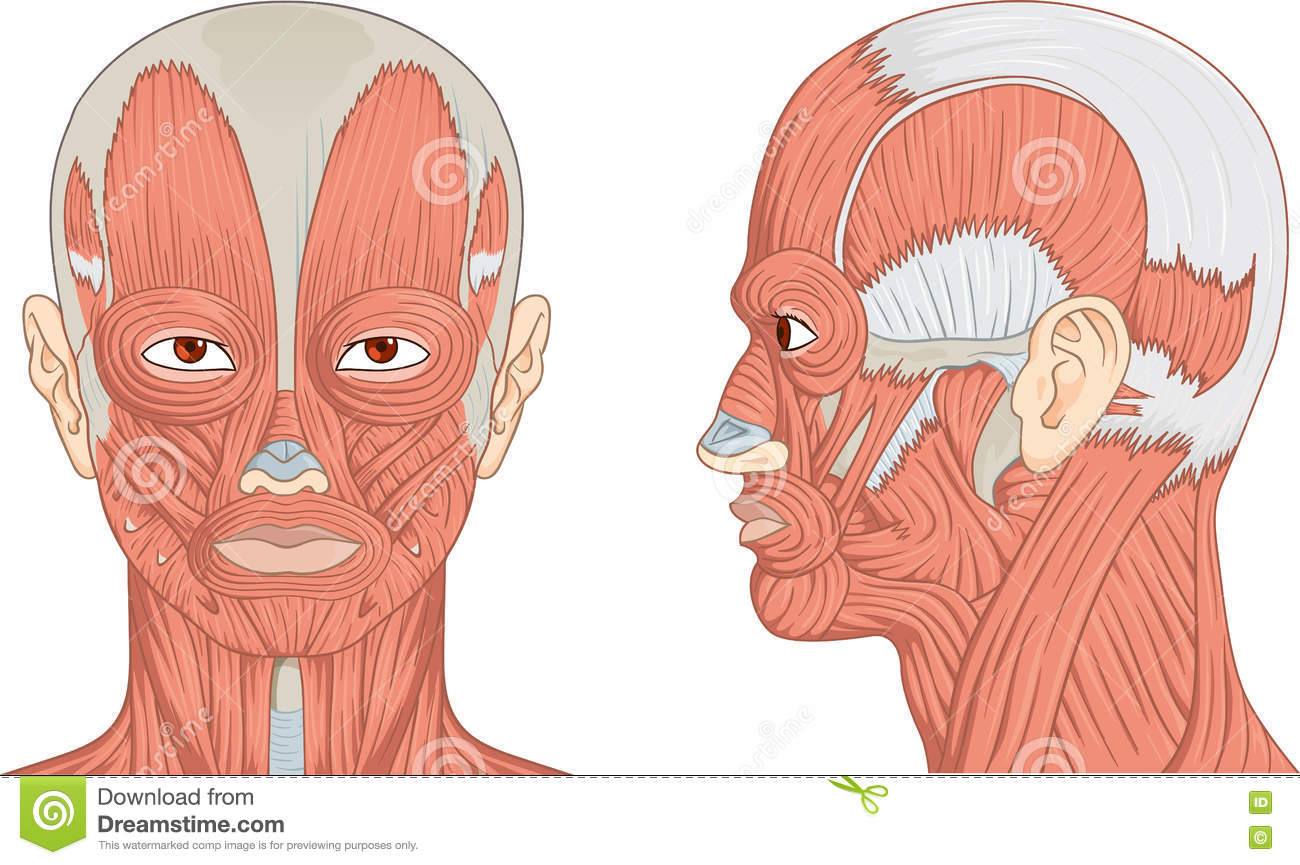 hight resolution of vector illustration diagram of human head with neck and face muscles
