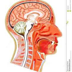 Inside Skull Diagram 2000 Honda Civic Audio Wiring Of Human Teeth In Mouth Parts Your