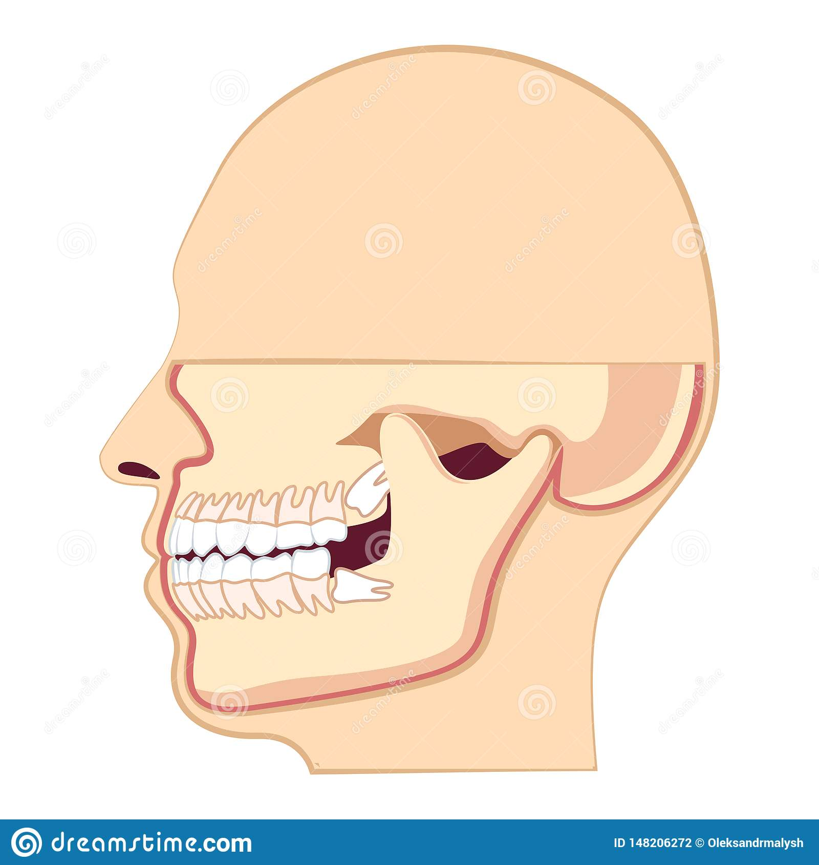 hight resolution of human head with teeth jaw and wisdom tooth inside