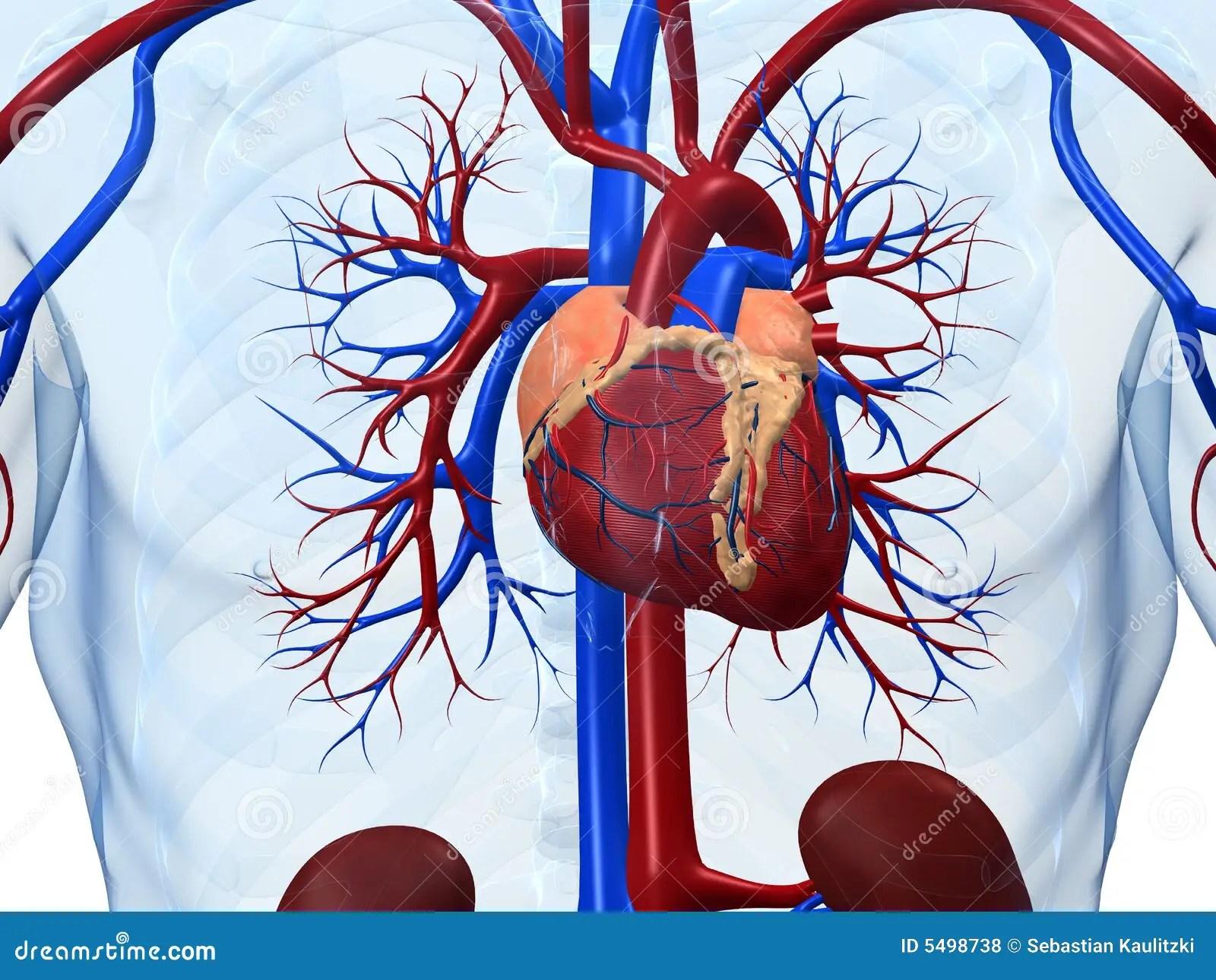 healthy heart diagram l14 30 plug wiring human royalty free stock photos image 5498738