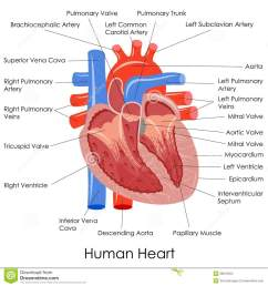 human heart anatomy stock vector illustration of anatomy 38070552 rh dreamstime com heart diagram coloring page heart diagram unlabeled [ 1300 x 1390 Pixel ]