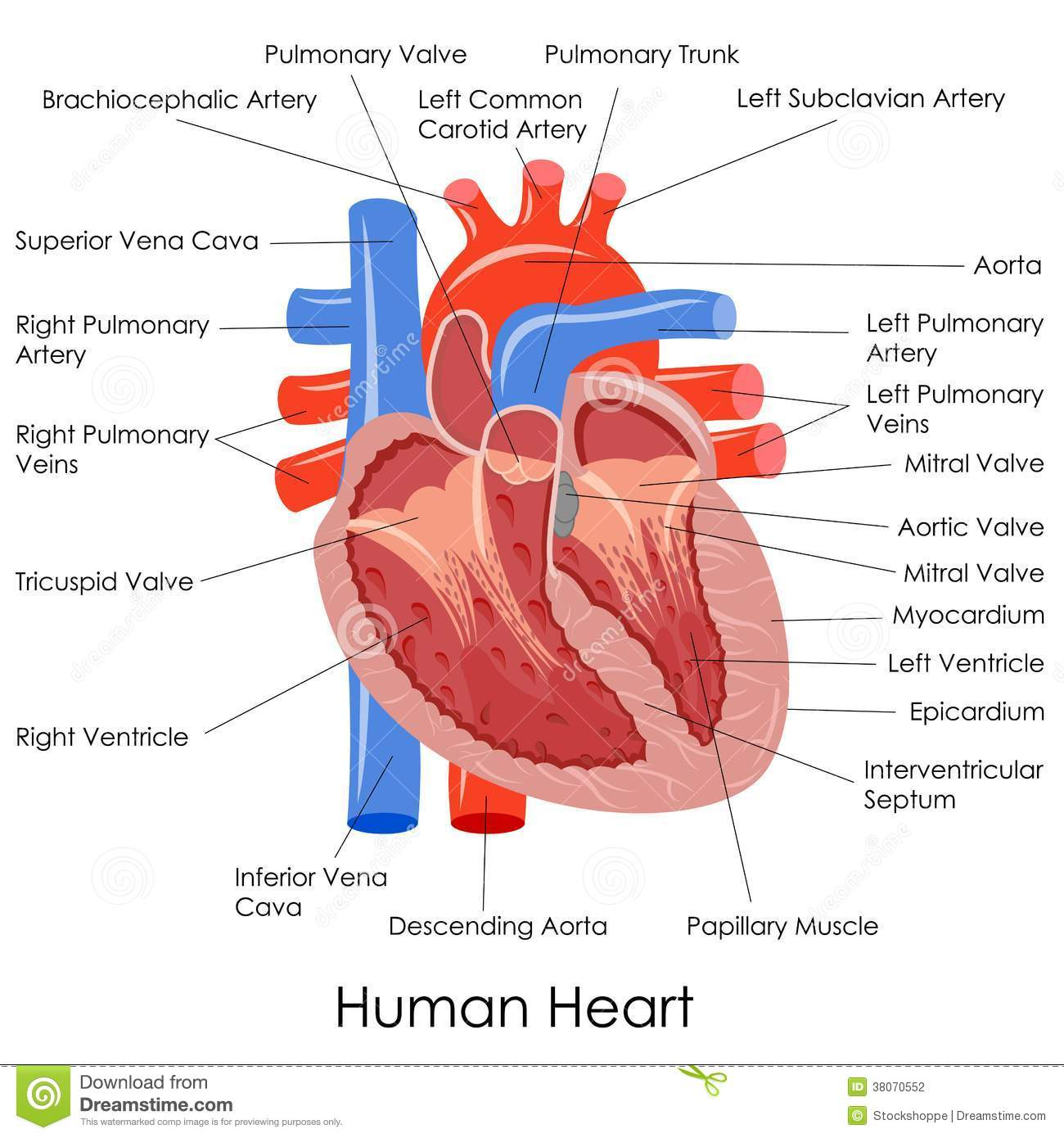 hight resolution of human heart anatomy stock vector illustration of anatomy 38070552 rh dreamstime com heart diagram coloring page heart diagram unlabeled