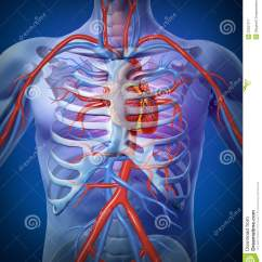Inner Heart Diagram Whelen Wig Wag Wiring Human Circulation In A Skeleton Stock Illustration - Image: 23527277