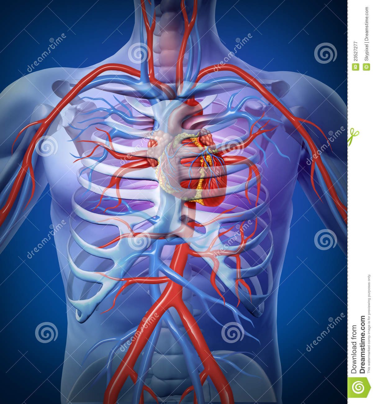 hight resolution of human heart circulation in a skeleton cardiovascular system with heart anatomy from a healthy body on a black glowing background as a medical health care