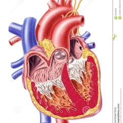 Unlabeled Heart Diagram Cross Section Speaker Volume Control Wiring Human Stock Illustration