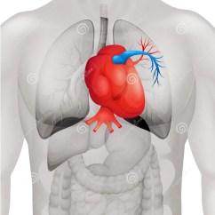 Healthy Heart Diagram Subaru Clarion Radio Wiring Human In Detail Stock Vector Illustration
