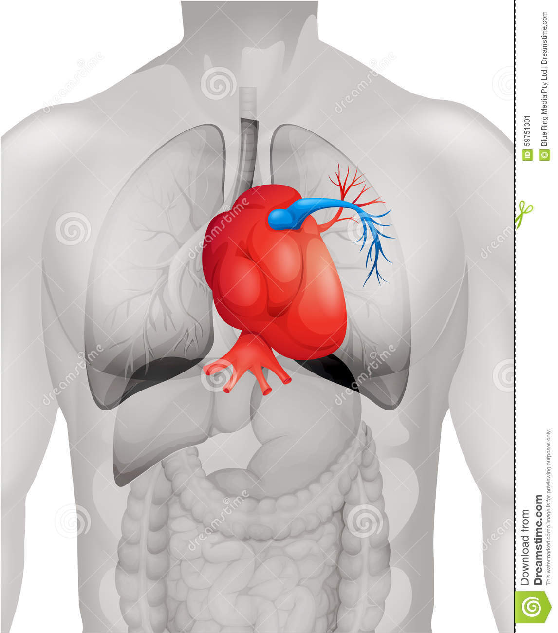 hight resolution of human heart diagram in detail