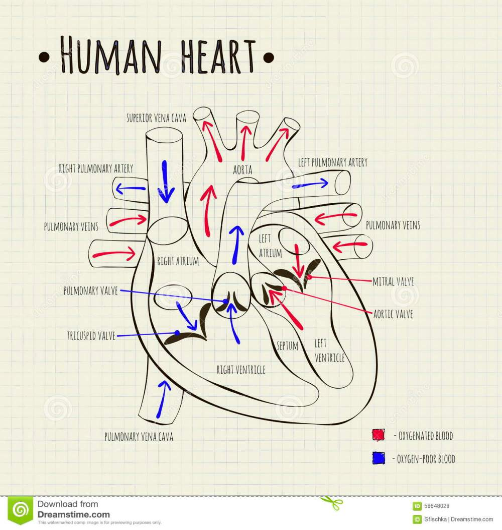 medium resolution of a human heart diagram