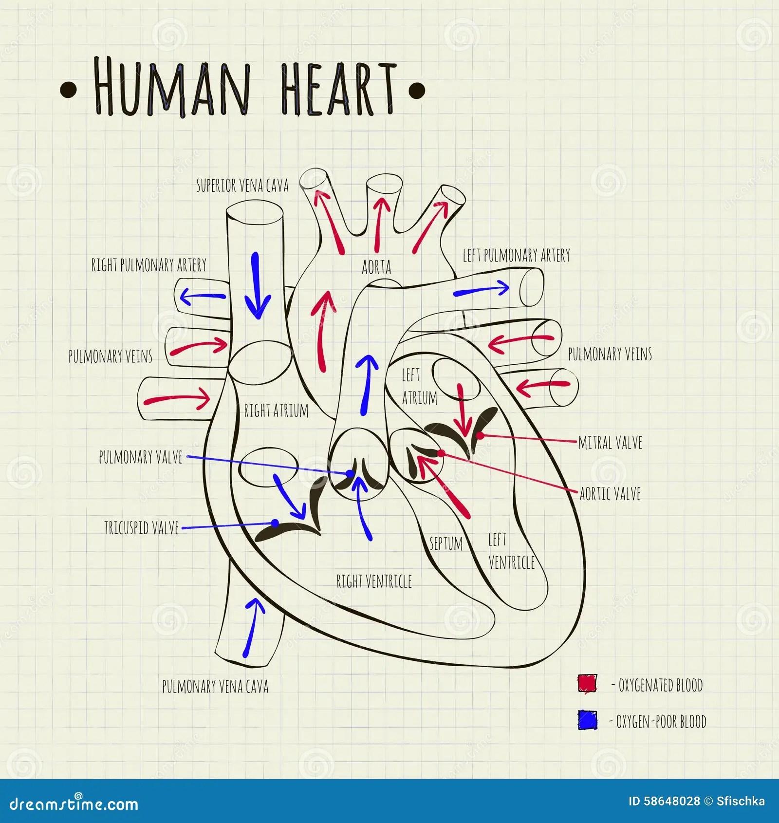 hight resolution of a human heart diagram