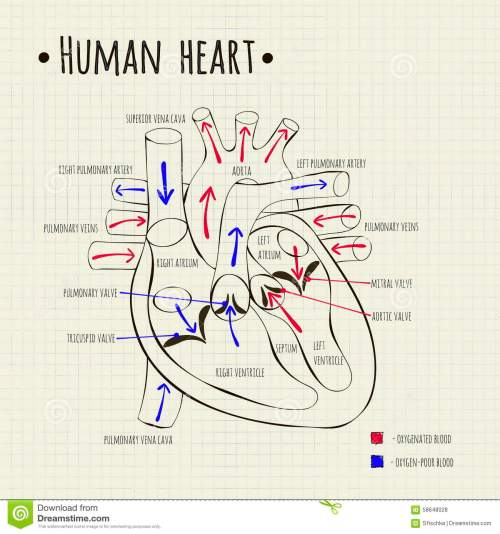 small resolution of a human heart diagram