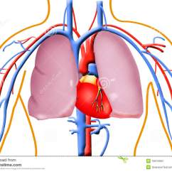 Human Heart And Lungs Diagram 2008 Ford Focus Car Stereo Wiring Stock Illustration Of Chamber