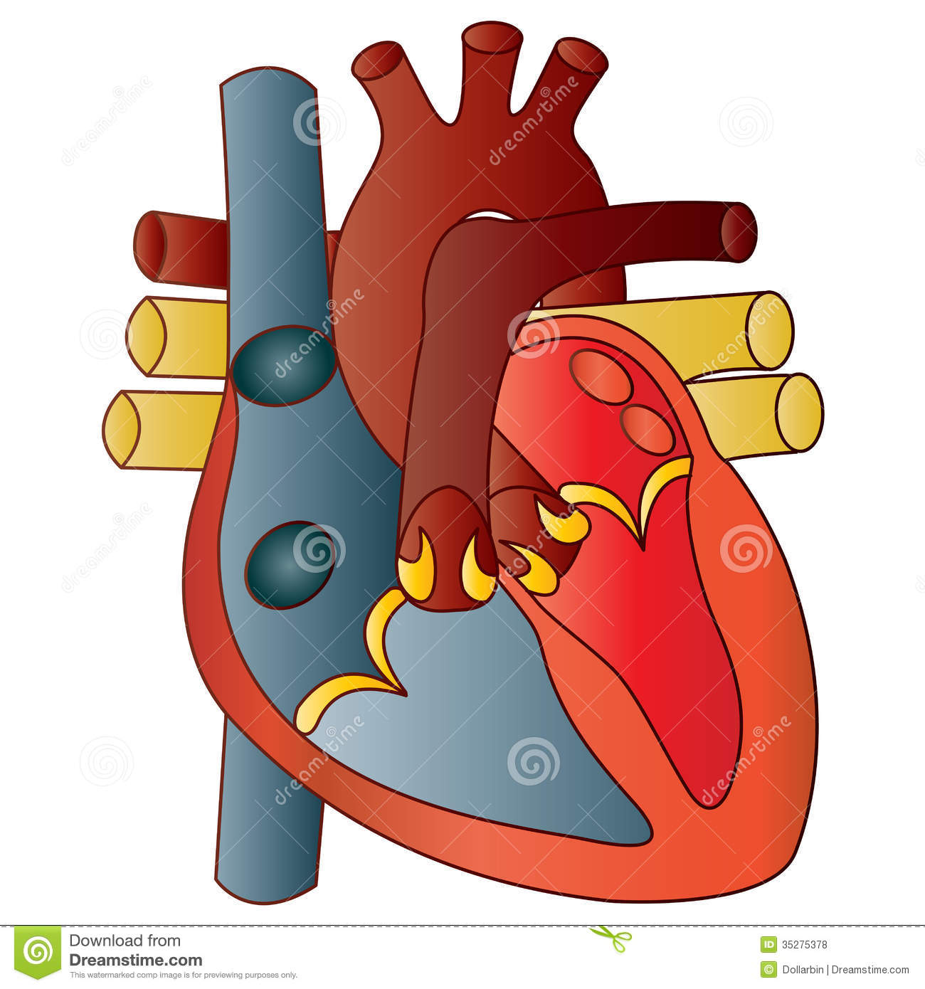 healthy heart diagram ford 8n 12 volt conversion wiring human stock vector. image of atrium, heart, - 35275378