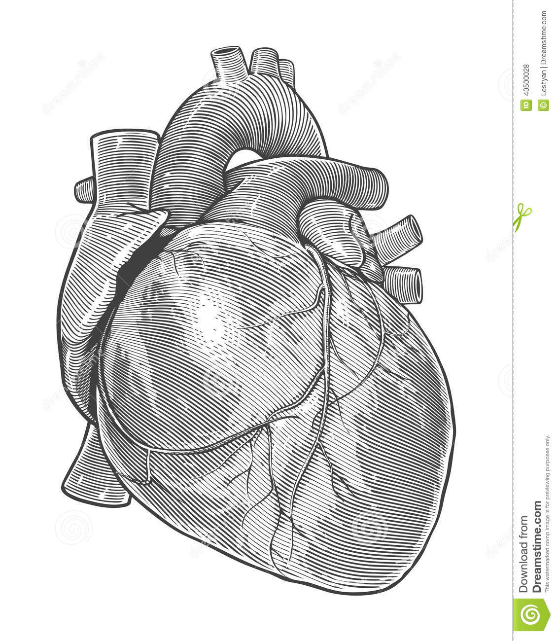 Human Heart In Vintage Engraving Style Stock Vector