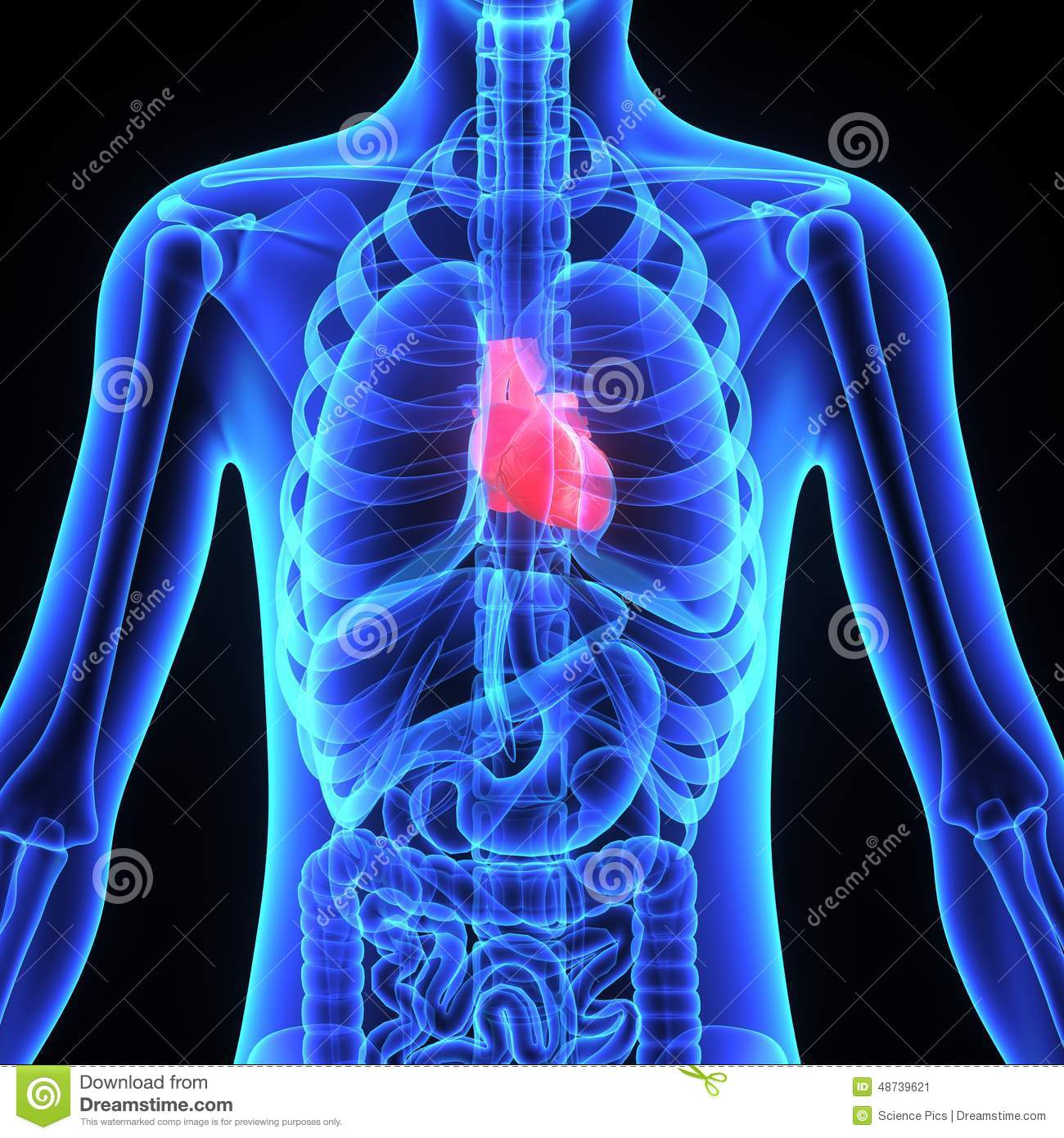 hight resolution of the human heart is a vital organ that functions as a pump providing a continuous circulation of blood through the body by way of the cardiac cycles