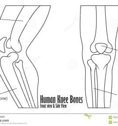human knee bones front and side view anatomy [ 1300 x 916 Pixel ]