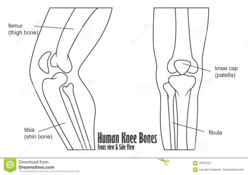 small resolution of human knee bones front and side view anatomy