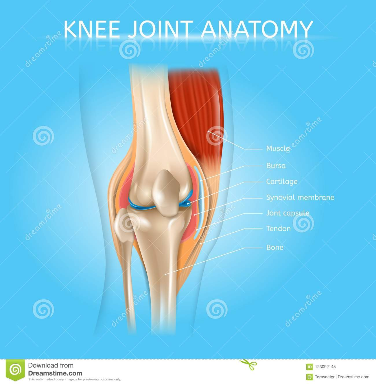 hight resolution of human knee joint anatomy realistic vector medical scheme with muscles bones joint capsule front view anatomical illustration human musculoskeletal system