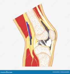human knee joint medical body anatomy orthopedic clinic leg diagram vector [ 1300 x 1390 Pixel ]