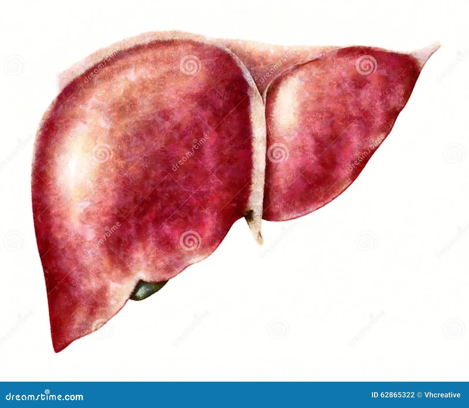 Human Liver Anatomy Illustration Stock Illustration