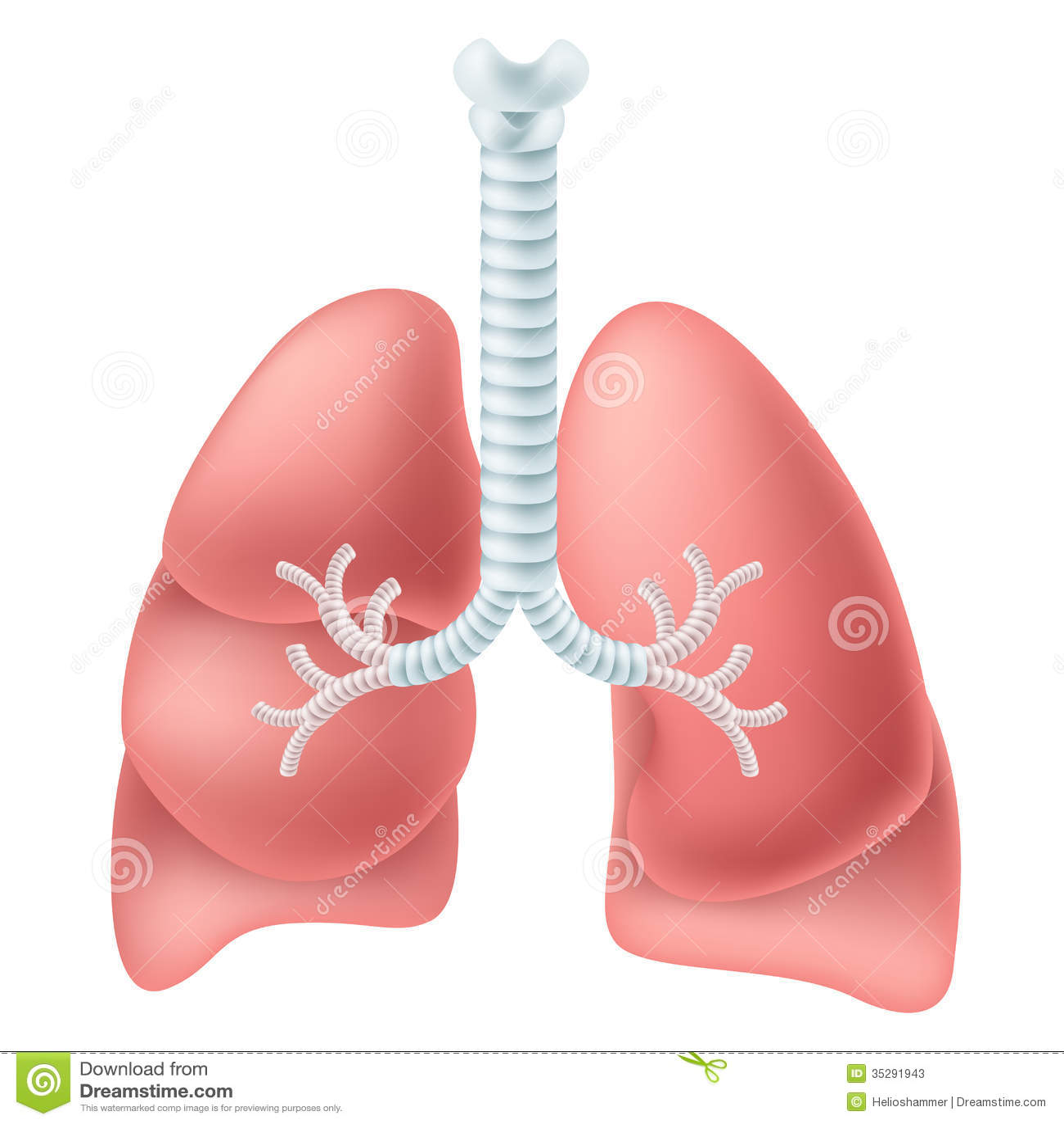 dog vital organs diagram 1989 honda accord ignition wiring human fat elsavadorla