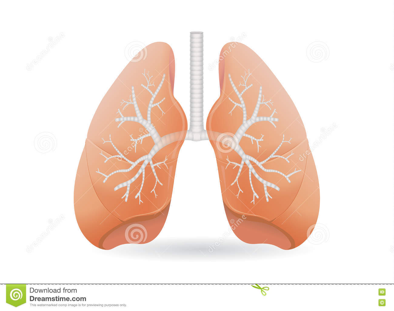 lung diagram drawing ml triton radio wiring human vector. stock image of abdomen, object - 71515821