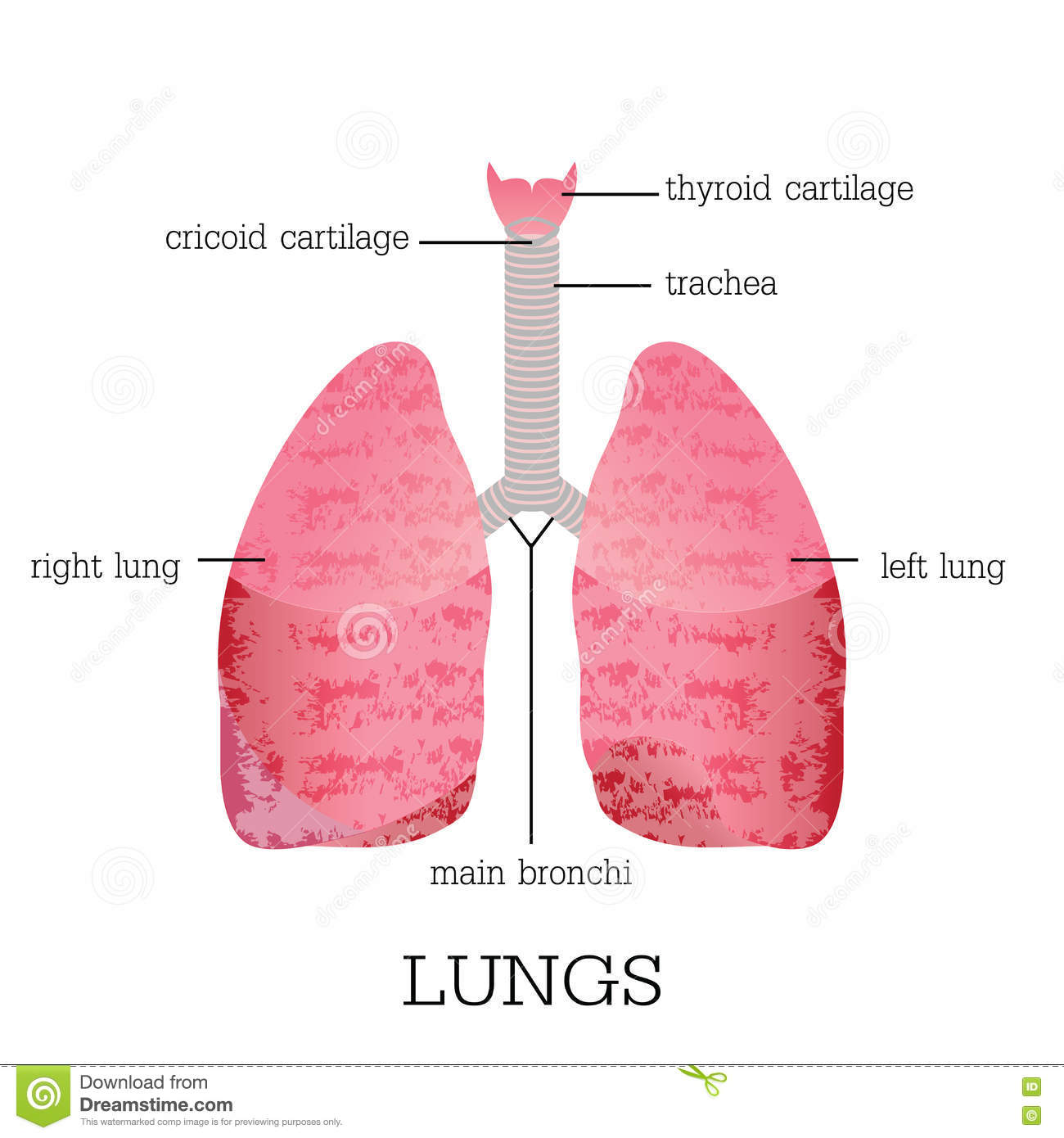 lung lobes diagram the treasure of lemon brown plot human lungs anatomy. stock vector - image: 75034636