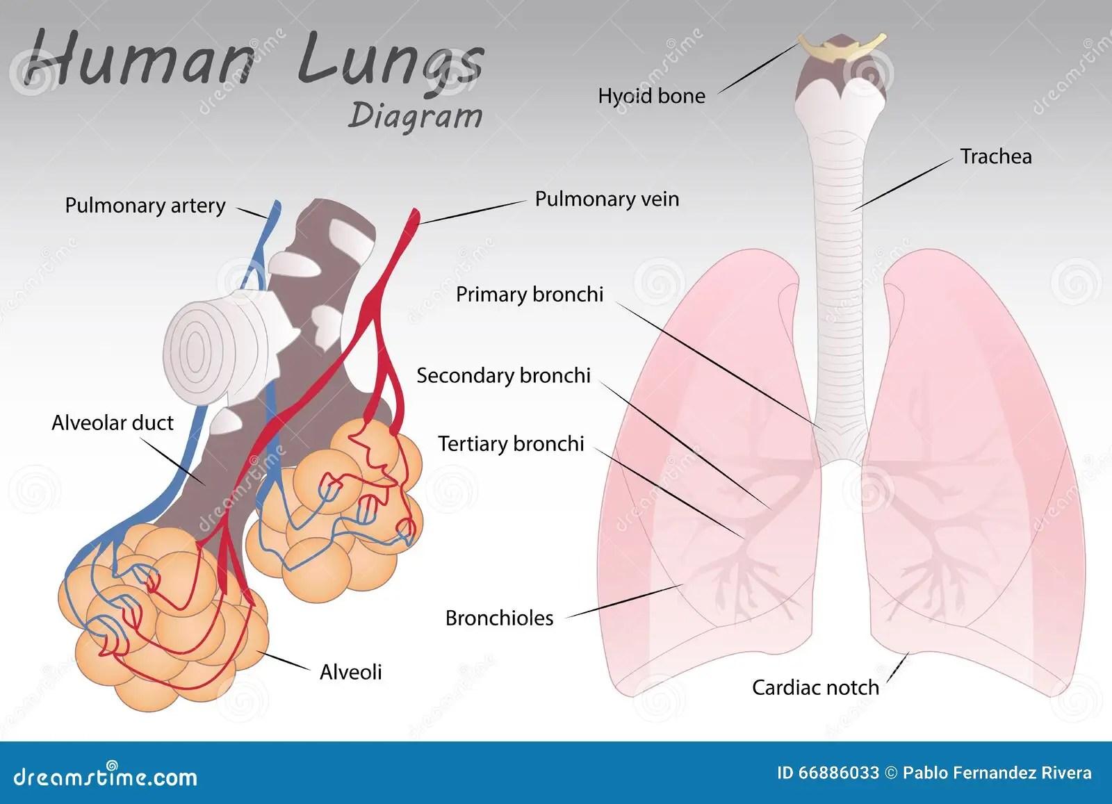 human heart and lungs diagram motorguide trolling motor parts royalty free cartoon cartoondealer 78103310