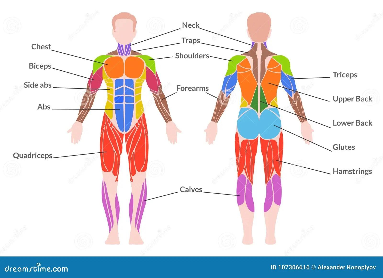 Human Muscular System Stock Vector Illustration Of