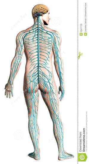 Human Nervous System Diagram Stock Illustration