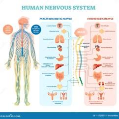 Sympathetic And Parasympathetic Diagram Energy Level Of Co Nervous Stock Illustrations  15 972