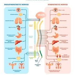 Sympathetic And Parasympathetic Diagram Dual Xdm16bt Wiring Human Nervous System Medical Vector Illustration