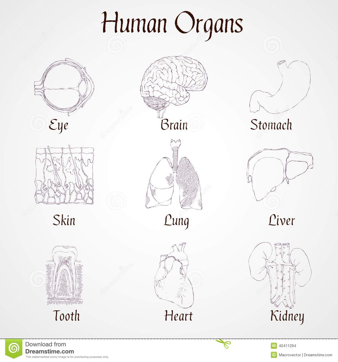 Vector Set Of Human Body Organs Anatomy Design Elements
