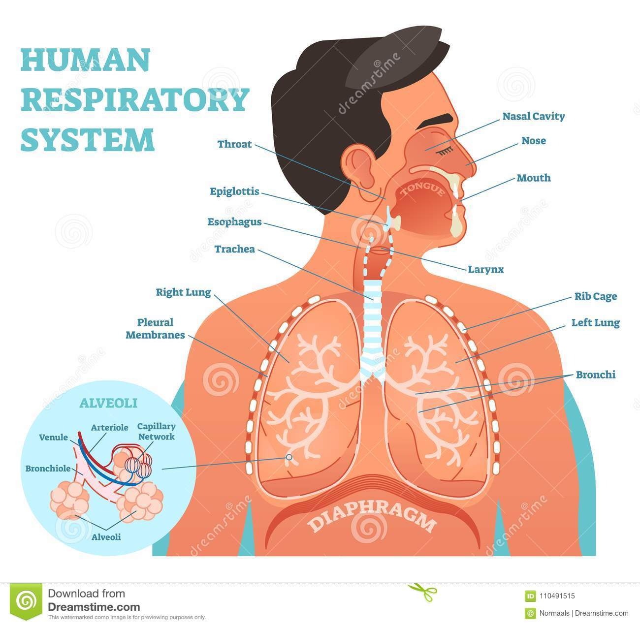 hight resolution of human respiratory system anatomical vector illustration medical education cross section diagram with nasal cavity throat esophagus trachea