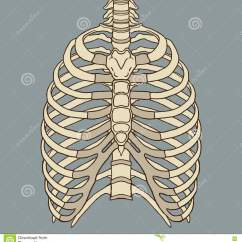Diagram Of Ribs And Organs Bt Master Socket Wiring Human Rib Cage Anatomy Vector Stock Illustration Organ
