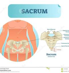 human sacrum bone structure diagram anatomical vector illustration labeled scheme with bone sections  [ 1300 x 1141 Pixel ]
