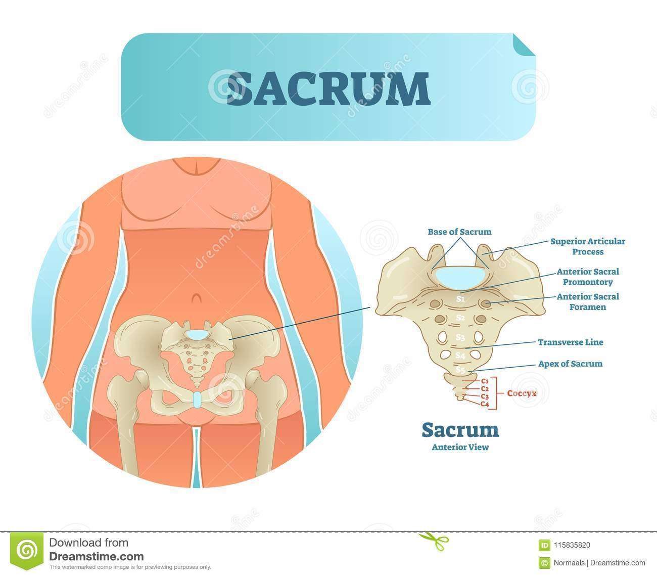 hight resolution of human sacrum bone structure diagram anatomical vector illustration labeled scheme with bone sections
