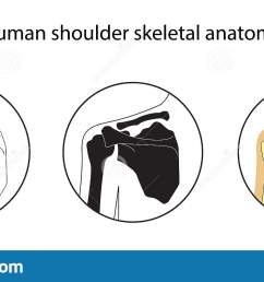 human shoulder skeletal anatomy vector illustrations set educational anatomy materials medical center clinic institute rehabilitation diagnostic  [ 1600 x 794 Pixel ]