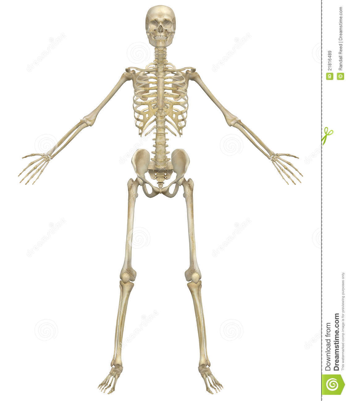 hight resolution of human skeleton anatomy front view