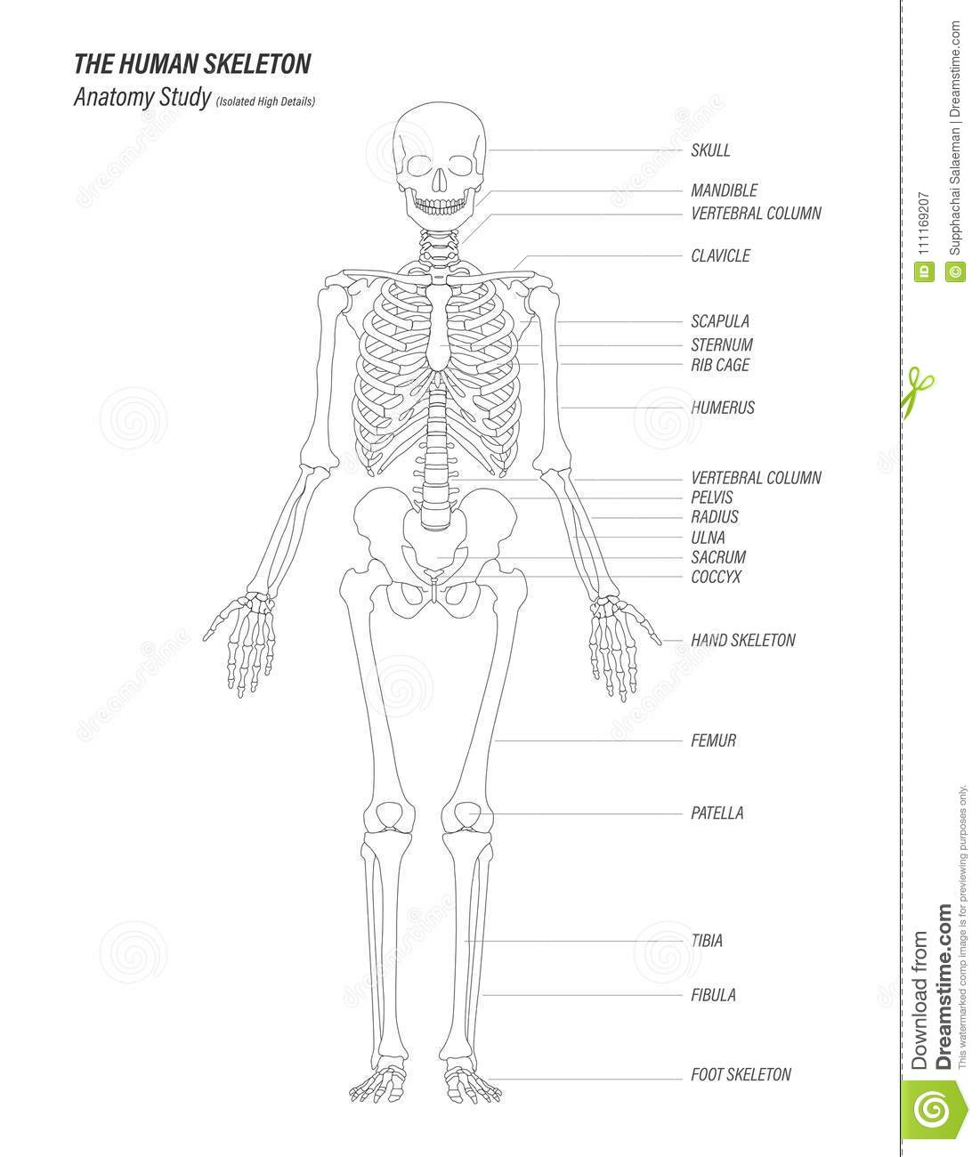 The Human Skeleton Anatomy Study Concept Black Linear High