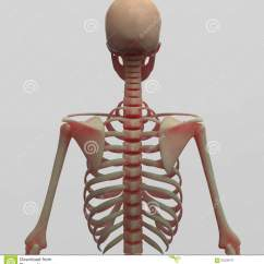 Rib Cage Bone Diagram Canine Ophthalmic Eye Human Skeleton Back Side View Stock Illustration Image