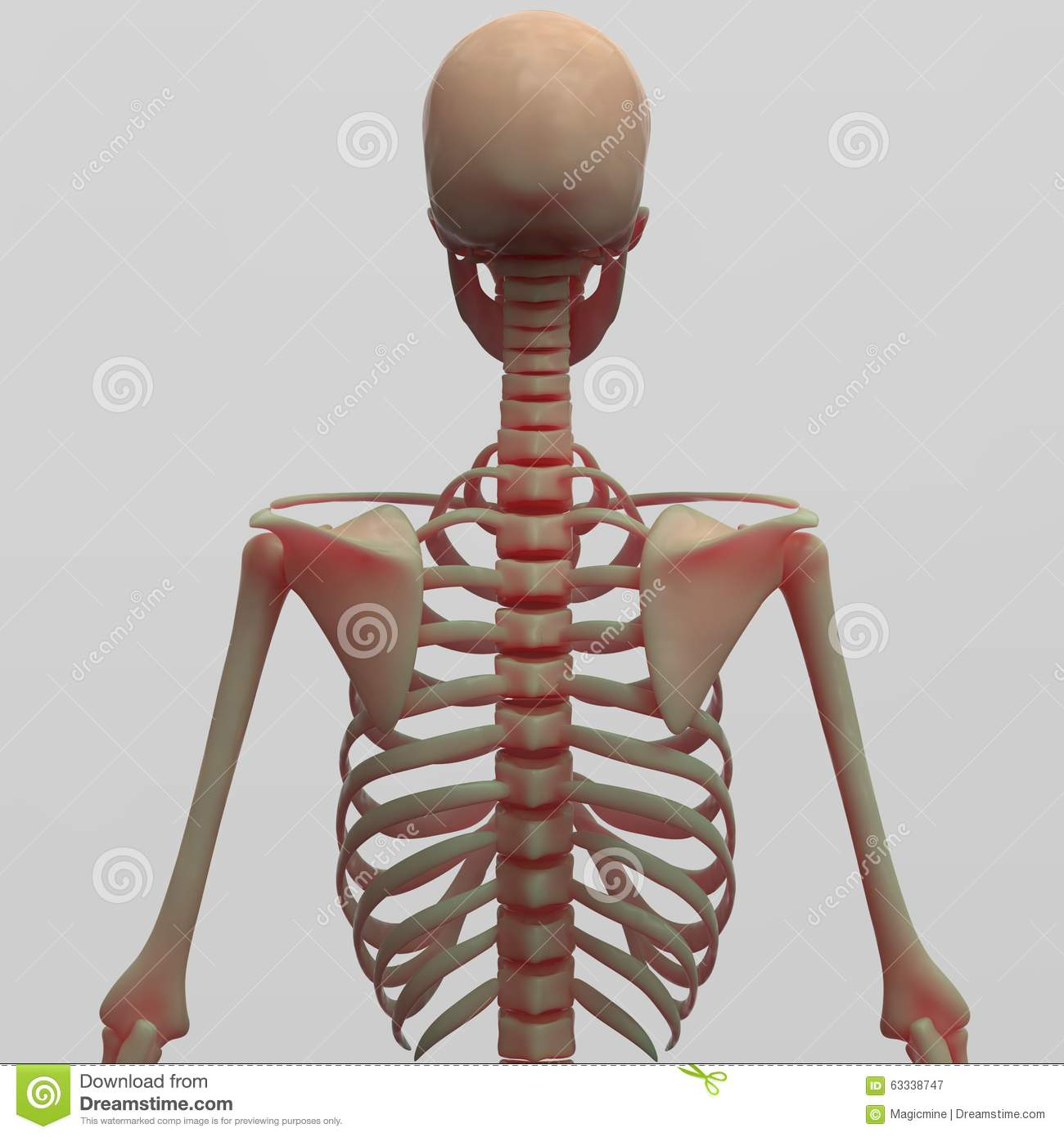 rib cage bone diagram wiring for contactor and overload human skeleton back side view stock illustration image