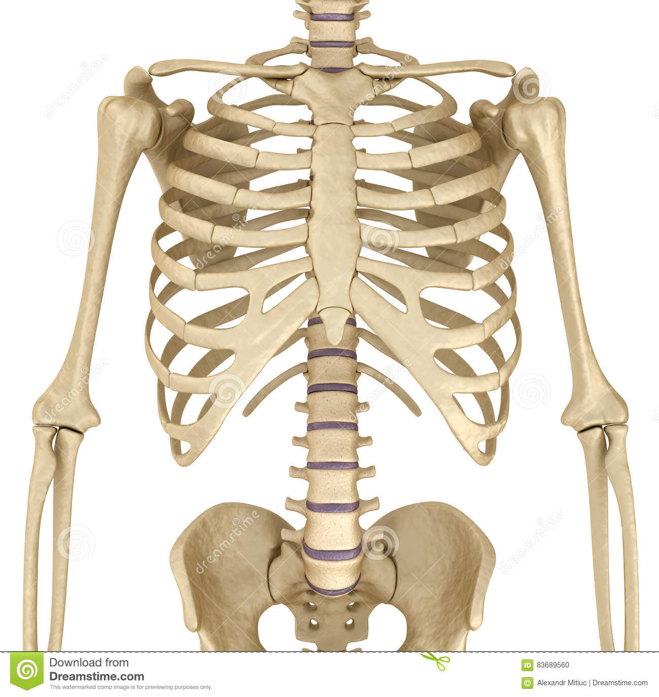 Human Skeleton Breast Chest Front View Stock