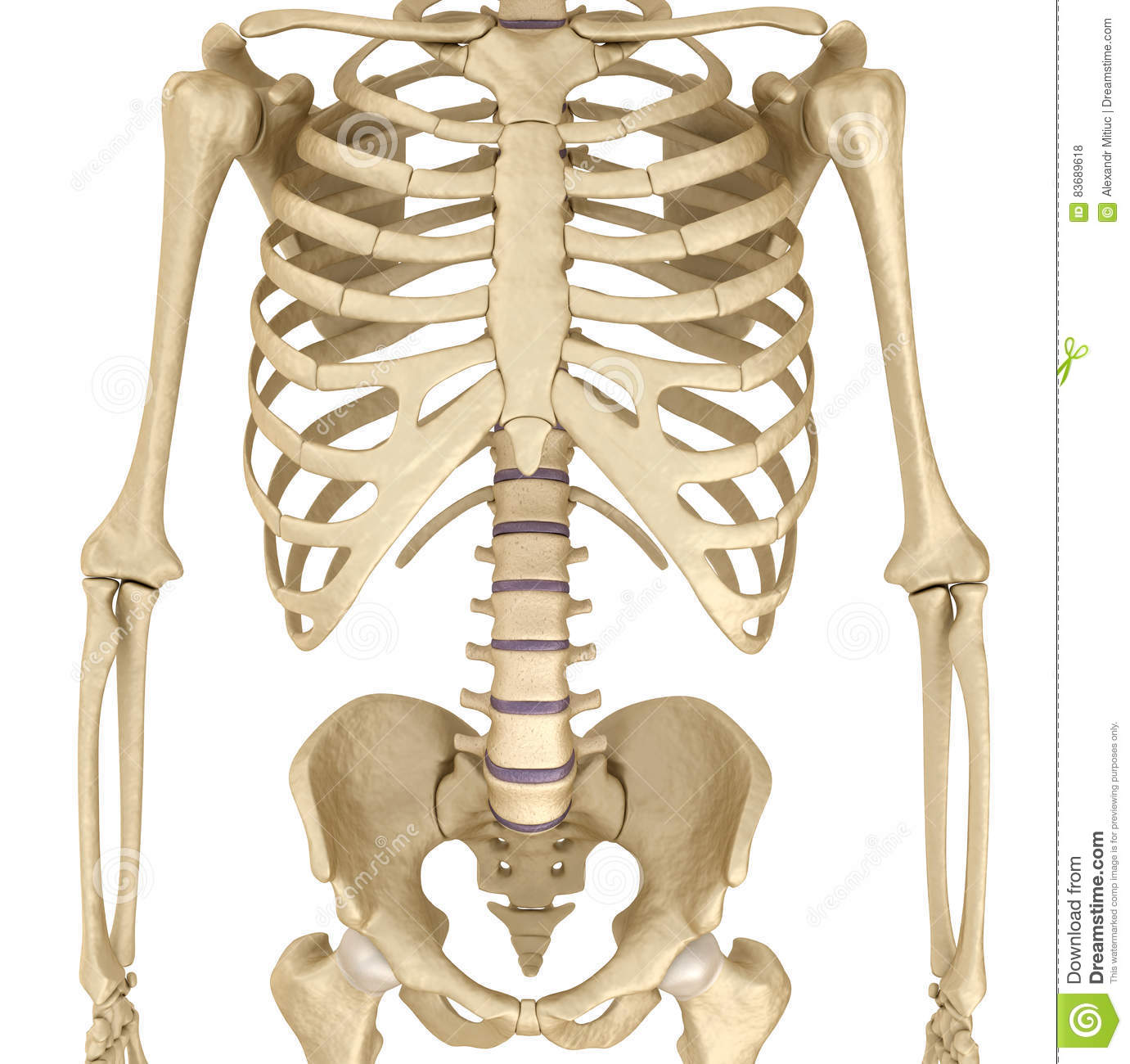 Human Skeleton Breast Chest Medically Accurate 3d