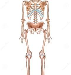 human skeleton [ 931 x 1300 Pixel ]