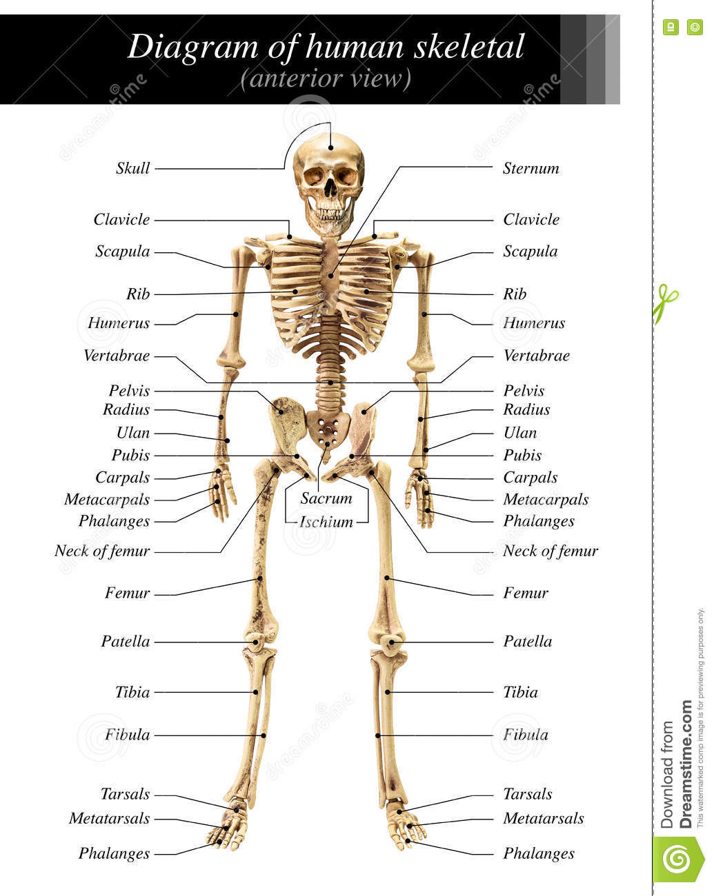 Human Skeleton Diagram Stock Image Image Of Joint