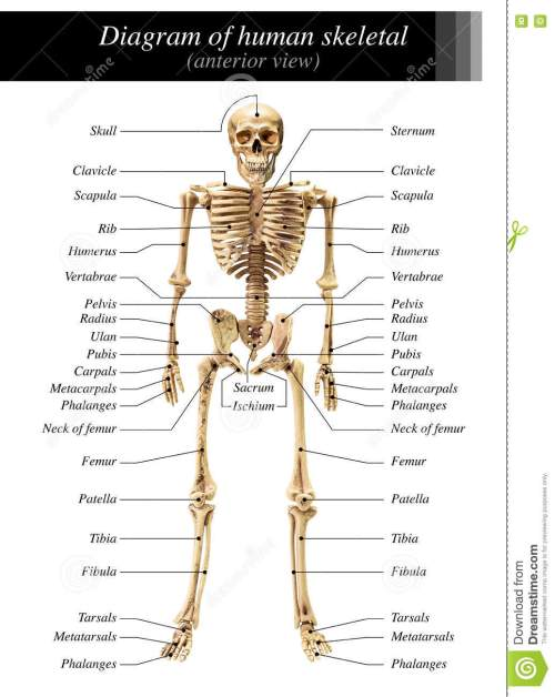 small resolution of human skeleton diagram