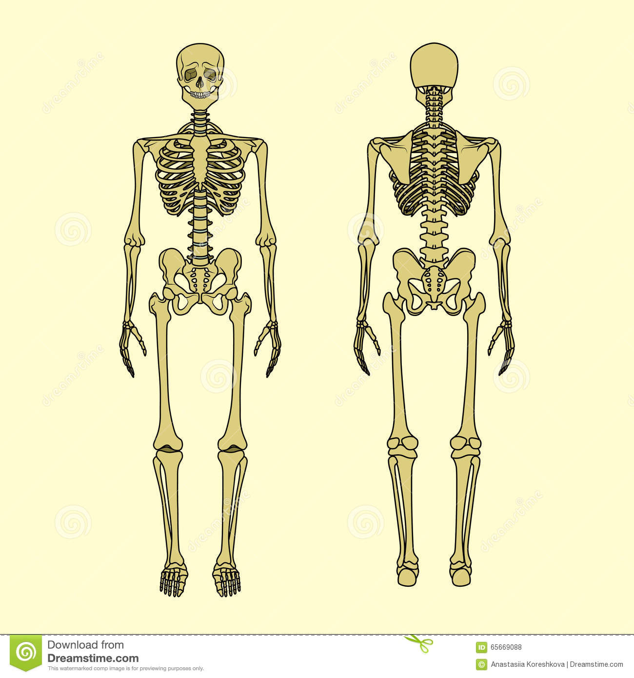 Human Skeleton Front And Rear View Stock Vector