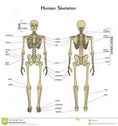 human skeleton front and rear view with explanatations  [ 1300 x 1390 Pixel ]