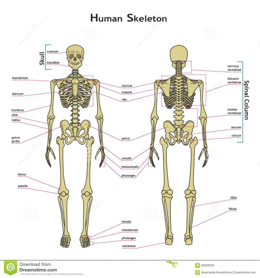 medium resolution of human skeleton front and rear view with explanatations